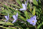 Spring Starflower (Tristagma uniflorum)